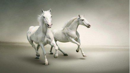 Beyaz Asil Atlar Duvar Kağıdı