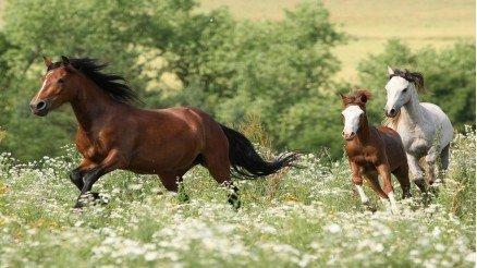 Anne At ve Yavruları Duvar Kağıdı