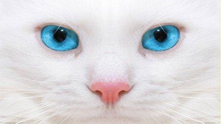 Beyaz Kedi Duvar Kağıdı