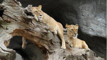 Bekleyen Aslanlar Duvar Kağıdı