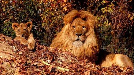 Aslan ve Yavrusu Duvar Kağıdı