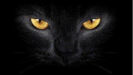 Asil Kedi Yüzü Duvar Kağıdı