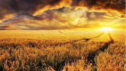 Buğday Tarlasındaki İzler Duvar Kağıdı