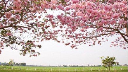 İlkbaharda Çiçek Açan Ağaçlar Duvar Kağıdı