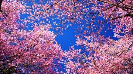Bahar Çiçekleri Açan Ağaç Duvar Kağıdı